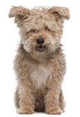 Mixed-breed dog, 6 years old, with mouth open in front of white background — Stock Photo