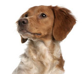 Close-up of Brittany puppy, 6 months old, in front of white background — Stock Photo