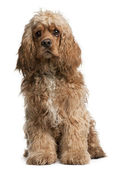 American Cocker Spaniel, 10 months old, sitting in front of white background — Stock Photo