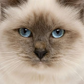 Close-up of Birman cat's face, 5 months old — Stock Photo