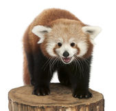 Young Red panda or Shining cat, Ailurus fulgens, 7 months old, on tree trunk in front of white background — Stock Photo