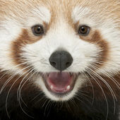 Close-up of Young Red panda or Shining cat, Ailurus fulgens, 7 months old — Stock Photo