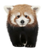 Young Red panda or Shining cat, Ailurus fulgens, 7 months old, in front of white background — Stock Photo