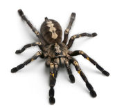Tarantula spider, Poecilotheria Metallica — Stock Photo