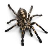 Tarantula spider, Poecilotheria Metallica — Stock Photo
