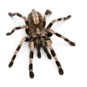 Tarantula spider, Poecilotheria Fasciata, in front of white background — Stock Photo