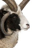 Close-up of Multi-horned Jacob Ram, Ovis aries — Stock Photo
