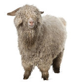 Angora goat in front of white background — Stock Photo