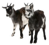 Common Goats from the West of France, Capra aegagrus hircus, 6 months old, in front of white background — Stock Photo