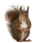 Eurasian red squirrel, Sciurus vulgaris, 4 years old, in front of white background — Stock Photo