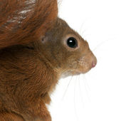 Eurasian red squirrel, Sciurus vulgaris — Stock Photo