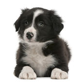 Border Collie puppy, 6 weeks old, lying in front of white background — Stock Photo