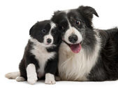Border Collies interacting in front of white background — Stock Photo