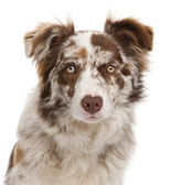 Red Merle Border Collie, 6 months old, in front of white background — Stock Photo