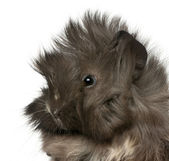 Close-up of young Peruvian guinea pig, 2 months old, in front of white background — Stock Photo