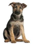 German Shepherd puppy, 4 months old, lying in front of white background — Stock Photo