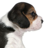 Beagle Puppy, 1 month old, sitting in front of white background — Stock Photo