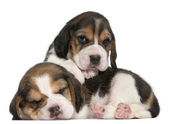 Two Beagle Puppies, 1 month old, in front of white background — Stock Photo