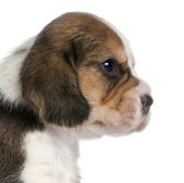 Close-up of Beagle Puppy, 1 month old, in front of white background — Stock Photo