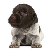 Wirehaired Pointing Griffon puppy, 1 month old, in front of white background — Stock Photo