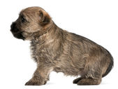 Cairn Terrier Puppy, 6 weeks old, in front of white background — Stock Photo