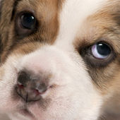 Close-up of Beagle puppy, 4 weeks old — Stock Photo