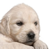 Olden Retriever puppy — Stock Photo
