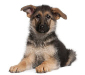 German Shepherd puppy, 4 months old — Stock Photo