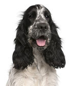 English Cocker Spaniel, 2 years old, sitting in front of white background — Stock Photo