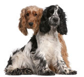 Two English Cocker Spaniels, 2 years old, in front of white background — Stock Photo