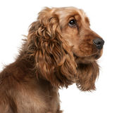 English Cocker Spaniel, 2 years old, in front of white background — Stockfoto