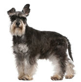 Miniature Schnauzer, 6 years old, standing in front of white background — Stock Photo