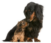Mother Dachshund, 4 years old, and her puppy, 5 weeks old, in front of white background — Stock Photo