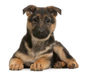 German Shepherd puppy, 3 months old, lying in front of white background — Stock Photo