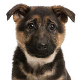 Close-up of German Shepherd puppy, 3 months old, in front of white background — Stock Photo