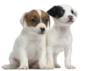 Jack Russell Terrier puppies, 7 weeks old, sitting in front of white background — Stock Photo