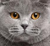 крупный британский короткошерстный кот, 2-х лет — Стоковое фото