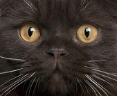 Close-up of Scottish Fold kitten, 8 months old — Stock Photo