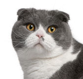 Close-up of Scottish Fold cat, 1 year old — Stock Photo