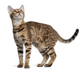 Bengal kitten, 6 months old, in front of white background — Stock Photo