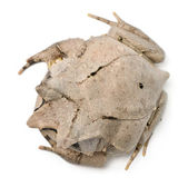 长鼻子的角蛙角蟾属 nasuta,18 个月大,在白色背景前的高角度视图 — 图库照片