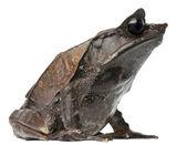 长鼻子的角的蛙角蟾属 nasuta,在白色背景前 — 图库照片