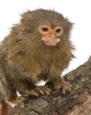 Pygmy Marmoset or Dwarf Monkey, Cebuella pygmaea, on log in front of white background — Stock Photo