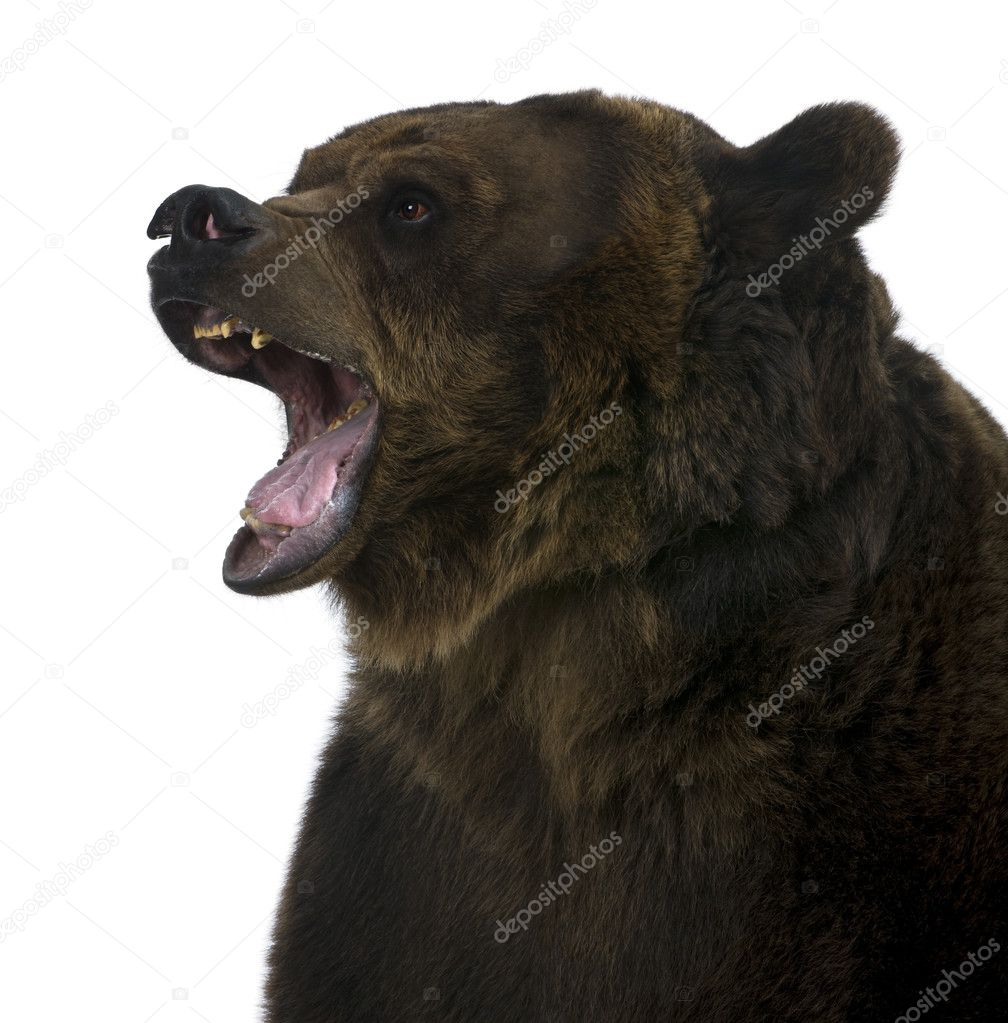 Grizzly bear, 10 years old, standing upright against white background ...