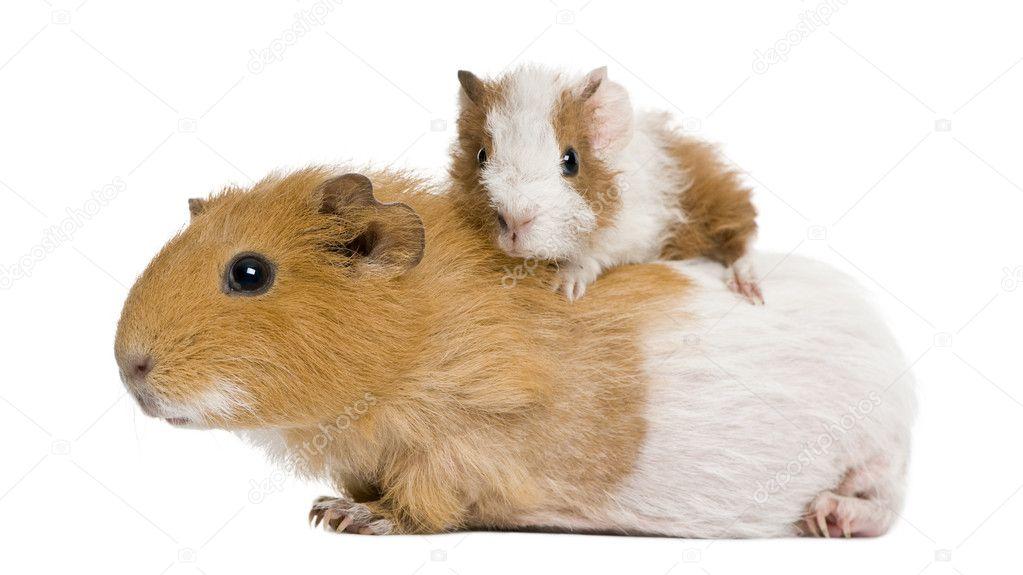 картинки морских свинок на рабочий стол