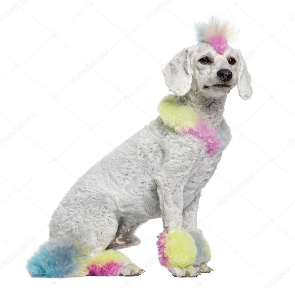 Poodle with multi-colored hair, 12 months old, sitting in front of white background  Stock Photo #10891628