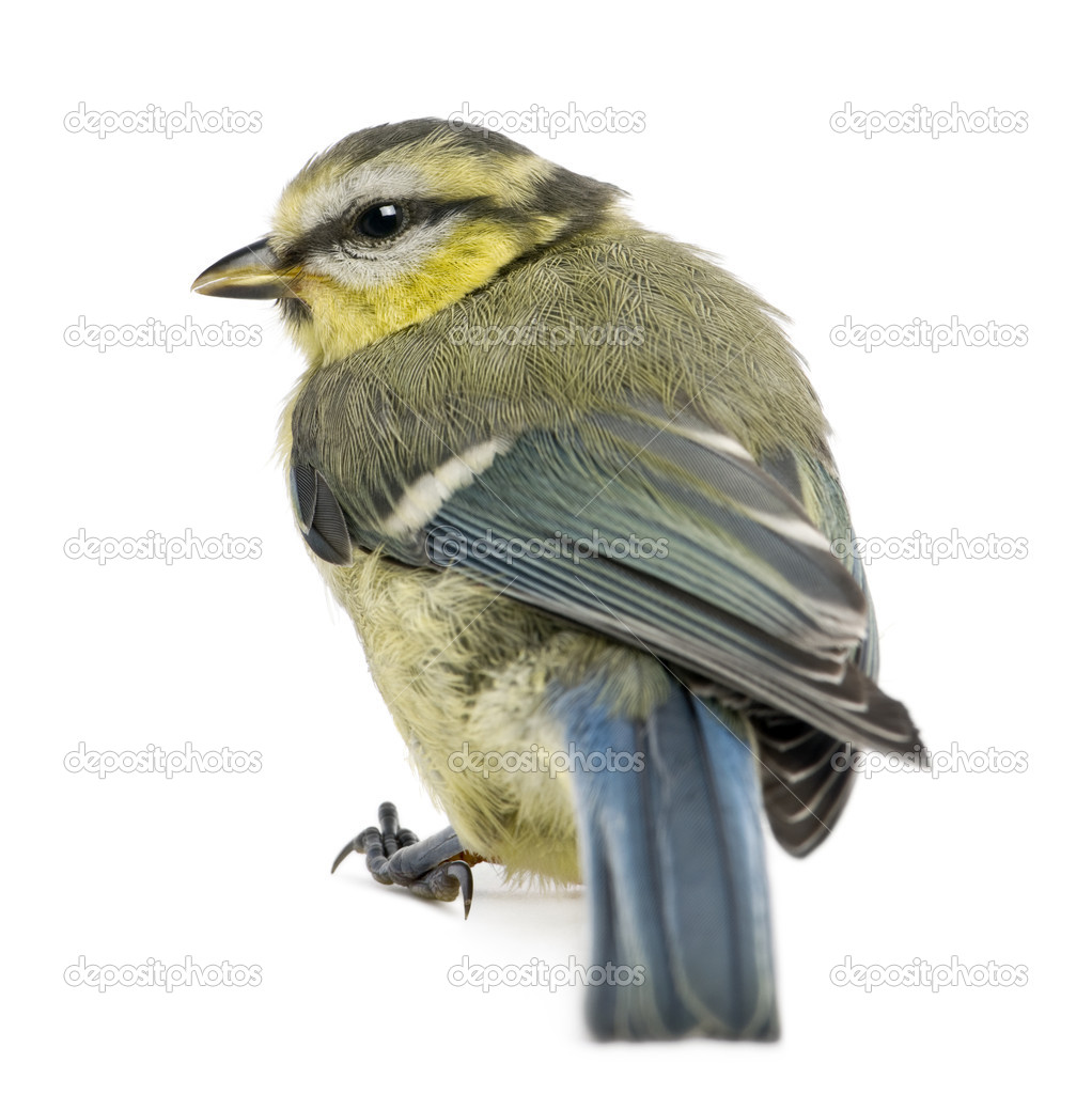 Young Blue Tit, Cyanistes caeruleus, in front of white background — Stock Photo #10892105