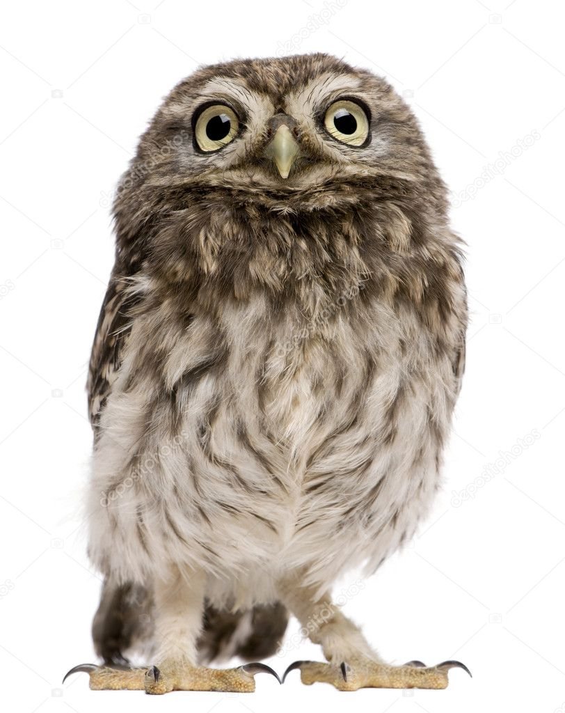 Little Owl, 50 days old, Athene noctua, standing in front of a white background — Stock Photo #10892277