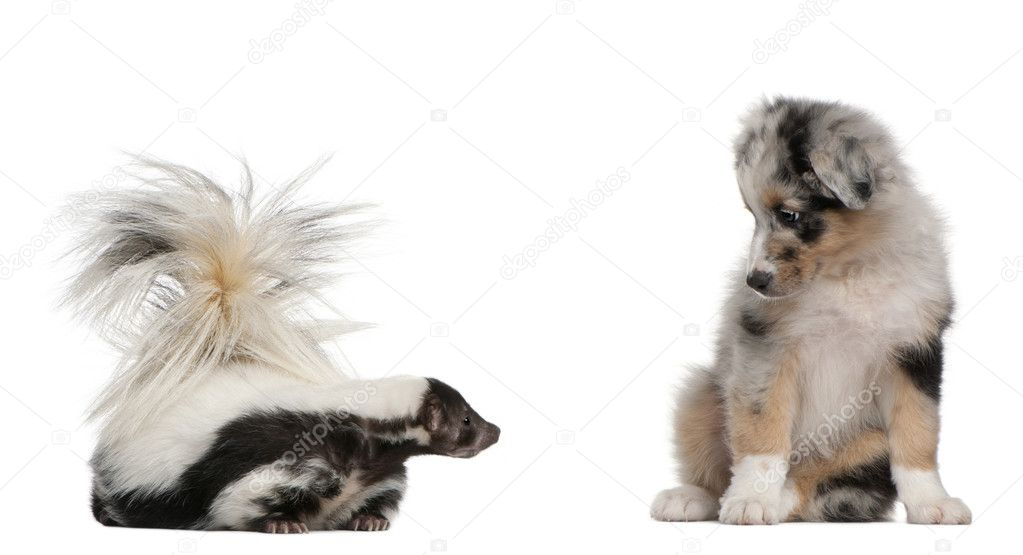 Blue Merle Australian Shepherd puppy, 10 weeks old, looking at Striped Skunk, Mephitis Mephitis, 5 years old, sitting in front of white background — Stock Photo #10892862