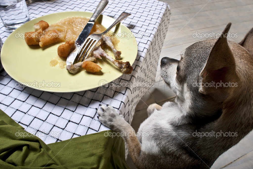 Chihuahua standing on hind legs to look at leftover meal on dinner table  Foto Stock #10892969